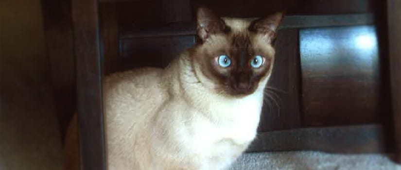 Blue-eyed cat Ming: Pet of the Month in Pewaukee
